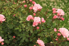 Roses. Bushes of roses in the flowering period Royalty Free Stock Photography