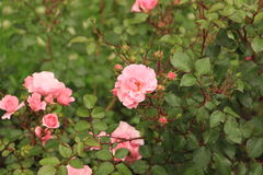 Roses. Bushes of roses in the flowering period Stock Images