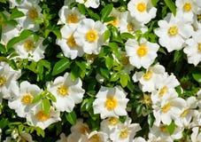 Roses cherokee Image libre de droits