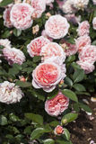 Roses Chippendale Royalty Free Stock Photos