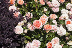 Roses Chippendale Royalty Free Stock Images