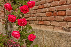 A roses climb on a brick wall. An explosion of blooming coloured  roses Royalty Free Stock Photo