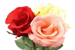 Roses close. Photo of Roses close on white background Stock Photography