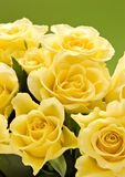 Roses close-up. Few yellow roses on green background royalty free stock photo