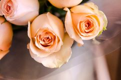 Roses close-up Stock Photos