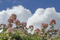 Roses and clouds. White billowing clouds with blue sky over a close-up of roses Stock Photo