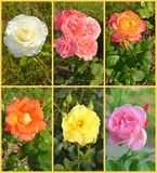 Roses collage Royalty Free Stock Photo