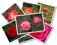 Roses Collage. Collage of the flower photos isolated on the white background Royalty Free Stock Images