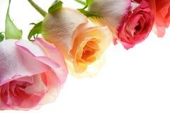 Roses colorées Images libres de droits
