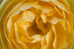 Roses colorées Images stock