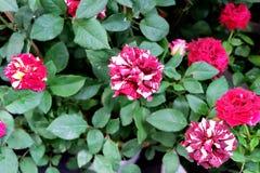 Roses colorées Photos libres de droits