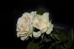 Roses colorées Photo stock