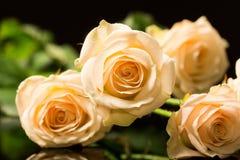 Roses colorées, belles, sensibles Images libres de droits