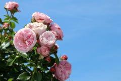 Roses colorées - Heilbronn Allemagne image stock