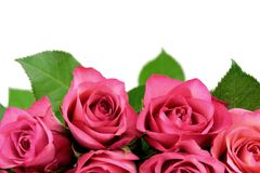 Roses colored. On white background and close up image Royalty Free Stock Image