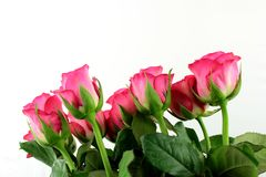 Roses colored. On white background Stock Photo