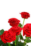 Roses with copy space. A bouquet of red roses against a white background with copy space above Royalty Free Stock Image