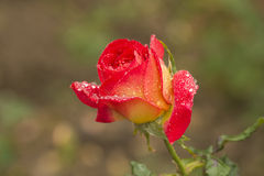 Roses covered with dew. Rose symbol has long beautiful and love. The stained with dew in the early morning rose more beautiful, elegant chic dew on petals are Royalty Free Stock Photography