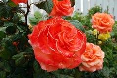 Roses d'écarlate Images libres de droits
