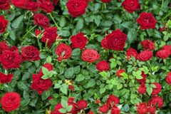 Roses d'écarlate dans le feuillage vert, gouttes de l'eau, rosée, fond naturel lumineux Carte de voeux avec amour pour des valent Photos libres de droits