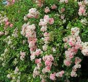 Roses d'été Images stock
