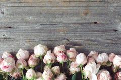 Roses d'arbuste roses sur le fond en bois avec l'espace de copie pour le texte Image stock