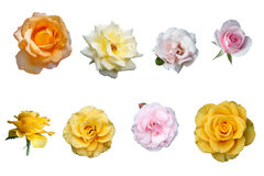Roses d'isolement Photo stock