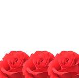 Roses d'isolement sur le blanc Photographie stock libre de droits