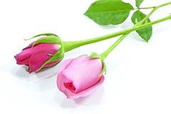 Roses d'isolement sur un fond blanc Image stock
