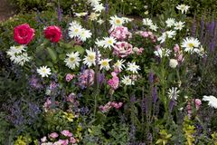 The roses, daisies, sage, wild field plants adorn garden. Roses, daisies, sage, wild field plants adorn the garden royalty free stock images
