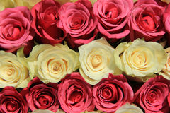 Roses dans différentes nuances de la disposition rose et nuptiale Image libre de droits