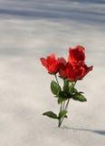 Roses dans la neige Photos stock