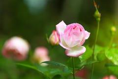Roses roses dans le jardin Photographie stock