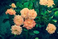 Roses dans le jardin images libres de droits