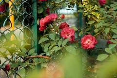 Roses dans le jardin Photos stock
