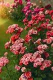 Roses dans le jardin Image stock