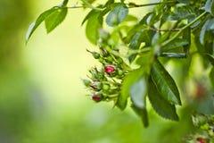Roses dans le jardin, heure d'été Photo libre de droits