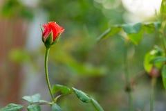 Roses dans le jardin, roses pour l'amour Photo libre de droits