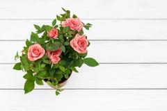 Roses dans le pot de fleurs Images libres de droits