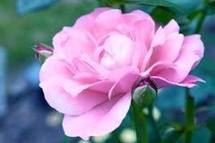 Roses dans le style de vintage Rose Blooming rose dedans Image libre de droits