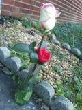 Roses dans le vase photos stock