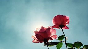 Roses day sun beautiful clean pink Stock Photography