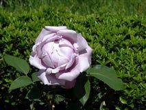 Roses de bourgeon Image libre de droits