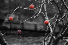 Roses de chien dans la couleur rougeâtre sur le fond de black&white photographie stock
