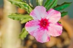 Roses de désert Photographie stock
