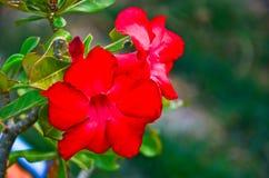Roses de désert Photo libre de droits