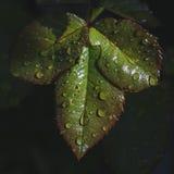 Roses de feuille Image stock