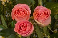 Roses roses de fleurs photographie stock libre de droits