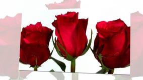 Roses de floraison à l'arrière-plan blanc banque de vidéos