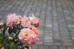 Roses de floraison Photo stock